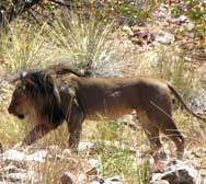 Male lion in the Klip River Valley